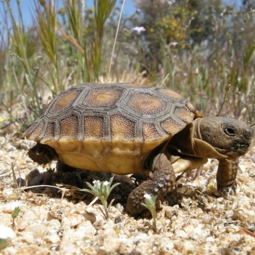 Rooftop solar is good for turtles and cactuses